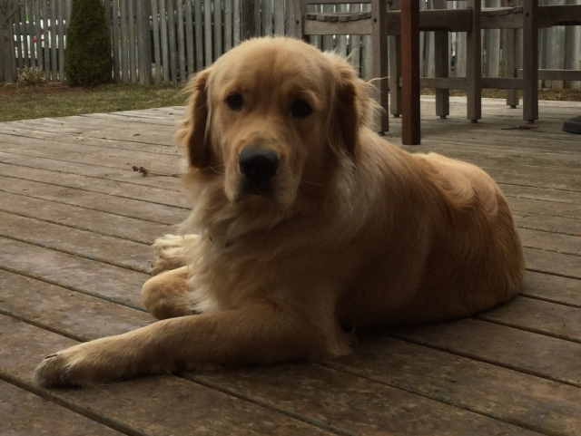 Photograph of my Golden Retriever Richard lying on a deck outside.